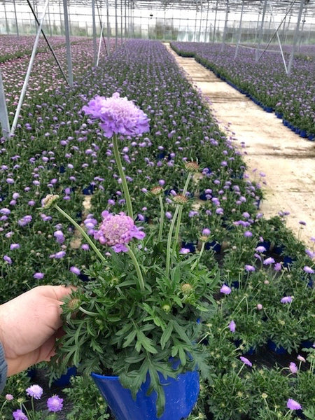 Scabious Butterfly Blue & Pink Mist Collection