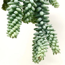 Load image into Gallery viewer, Sedum Morganainum - Burro's Tail