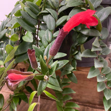 Load image into Gallery viewer, Aeschynanthus Radicans - Lipstick plant