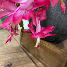 Load image into Gallery viewer, Schlumbergera - Christmas Cactus