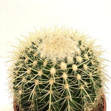 Load image into Gallery viewer, Echinocactus - Yellow Barrel Cactus