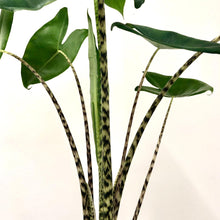 Load image into Gallery viewer, Alocasia Zebrina - Medium/Large