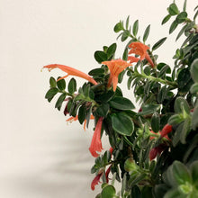Load image into Gallery viewer, Columnea Vera - Columbian Flowering Vine