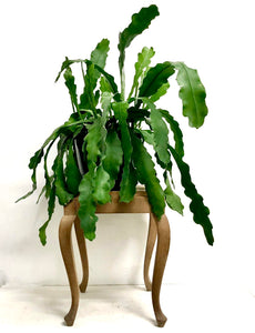 Epiphyllum Beavertail