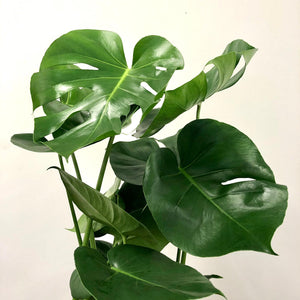Large 20cm Monstera Deliciosa - Swiss Cheese Plant