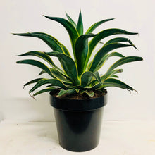 Load image into Gallery viewer, Agave Desmettiana - Varigated  60cm