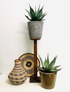 Agave Parry - Mescal Agave