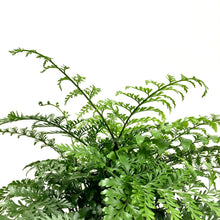 Load image into Gallery viewer, Asplenium parvati - Mother Fern