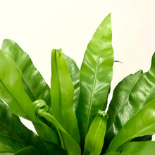 Load image into Gallery viewer, Asplenium antiquum - Bird's Nest Fern