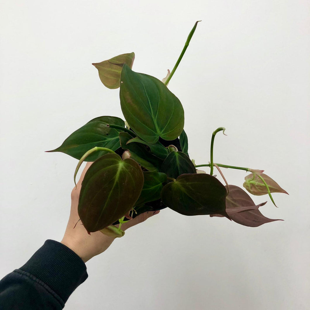 Philodendron Micans - Small