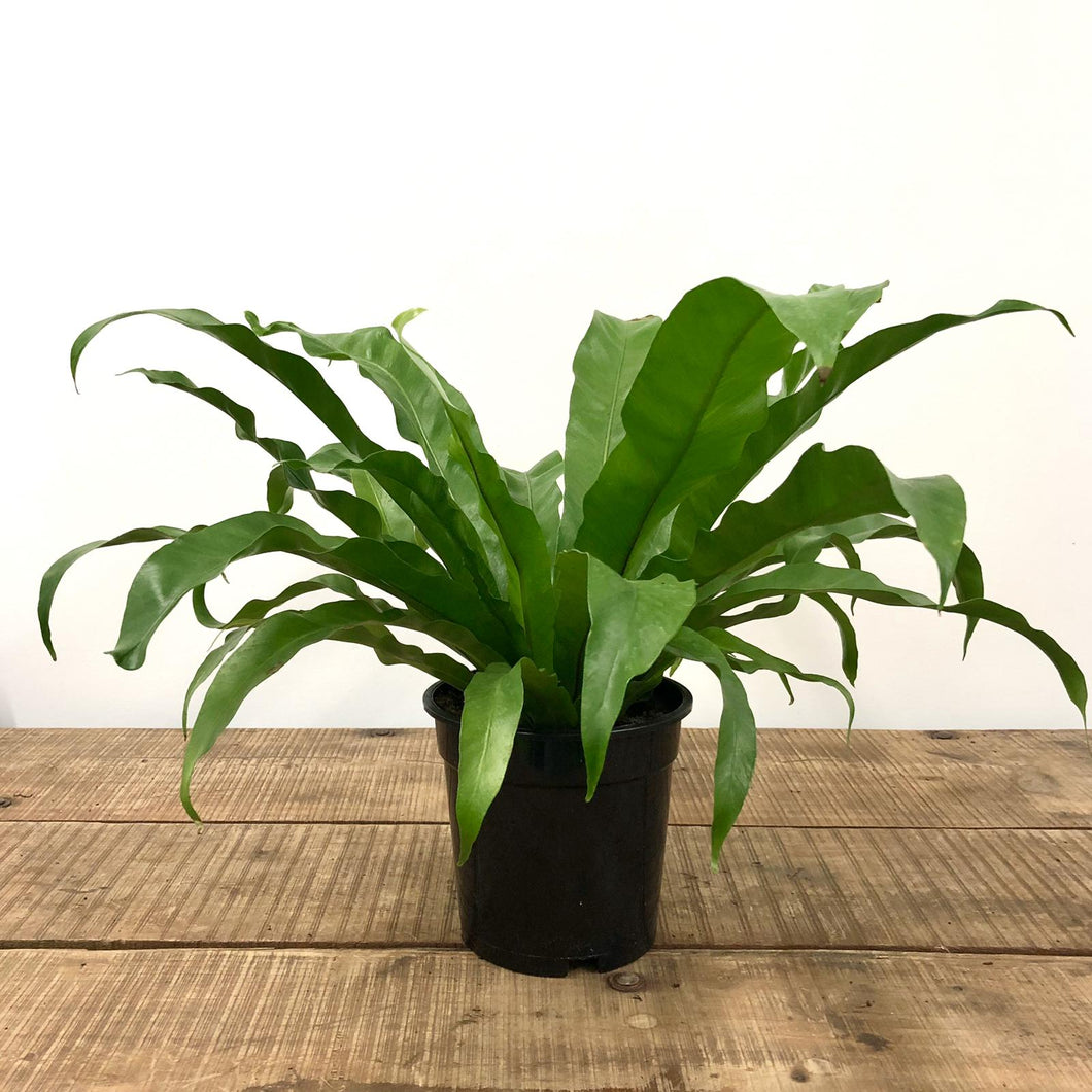 Asplenium antiquum - Bird's Nest Fern