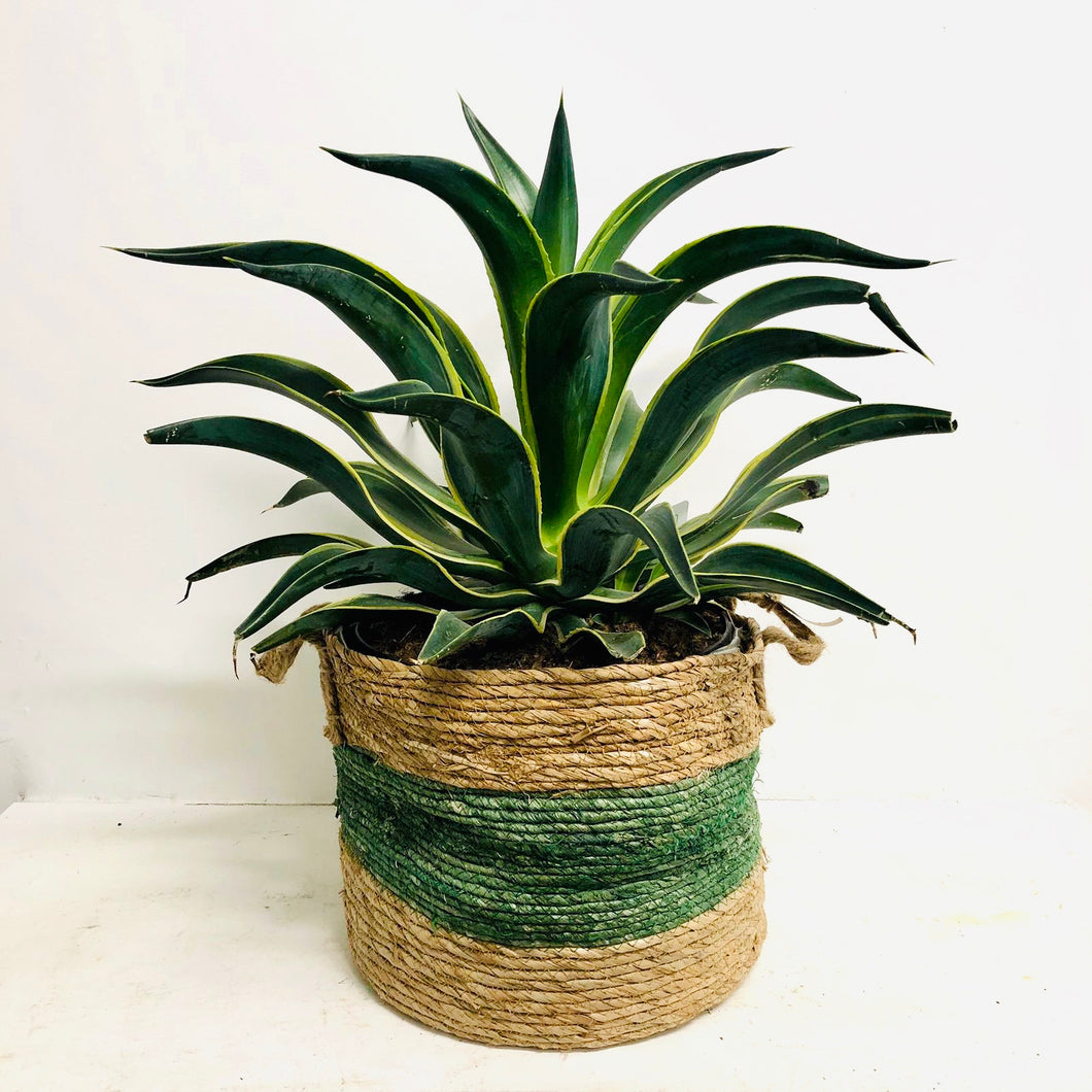 Agave Desmettiana - Varigated 60cm