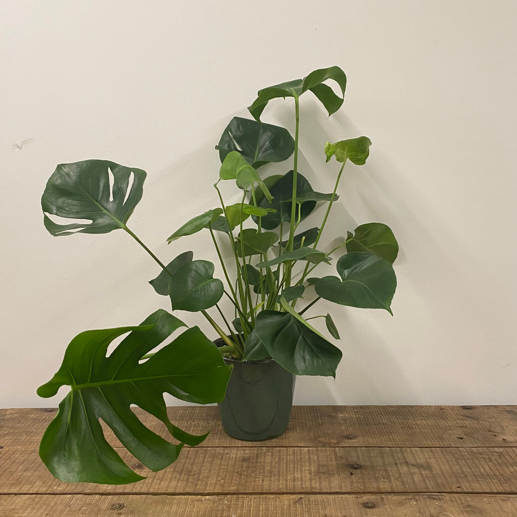 Monstera Deliciosa - Swiss Cheese Plant - Extra Large