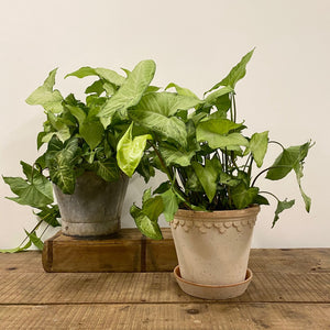 Syngonium white butterly (arrowhead plant)