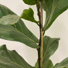 Load image into Gallery viewer, Ficus Lyrata - Fiddle Leaf Fig - Medium
