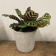 Load image into Gallery viewer, Calathea Makoyana - Small