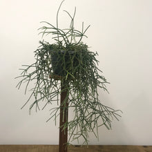 Load image into Gallery viewer, Rhipsalis Pilocarpa