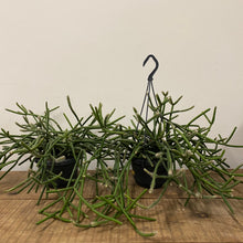 Load image into Gallery viewer, Rhipsalis pulvingerum