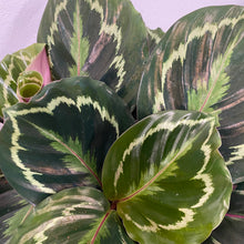 Load image into Gallery viewer, Calathea Medallion - Small