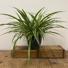 Load image into Gallery viewer, Spider Plant - Chlorophytum - Large