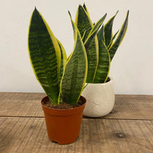 Load image into Gallery viewer, Sansevieria Zeylanica - Snake Plant (Small)