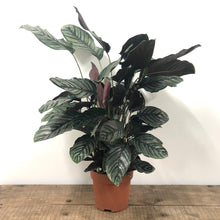 Load image into Gallery viewer, Calathea Sanderiana - Maranta Ornata - XL