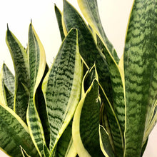 Load image into Gallery viewer, Sansevieria - Snake Plant - Large