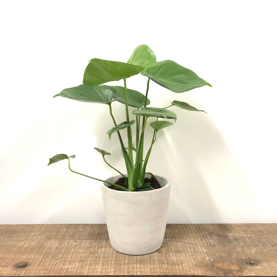 Monstera Deliciosa - Swiss cheese plant - Small