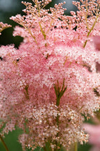 Load image into Gallery viewer, Filipendula rubra venusta #3