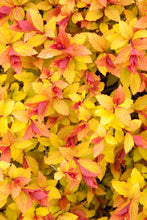 Load image into Gallery viewer, Spiraea 'Magic Carpet' #2
