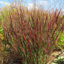 Load image into Gallery viewer, Panicum virgatum 'Blood Brothers' #1
