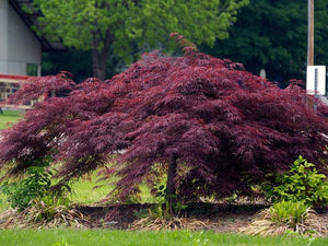 Acer palm. Crimson Queen #7