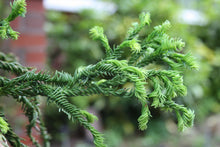 Load image into Gallery viewer, Cryptomeria j. Rasen #10