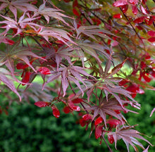 Load image into Gallery viewer, Acer palmatum 'Suminagashi' #15