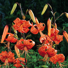 Load image into Gallery viewer, Lilium a. 'Splendens' #2