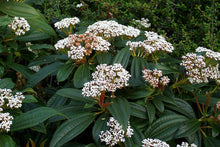 Load image into Gallery viewer, Viburnum davidii 3