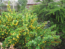 Load image into Gallery viewer, Berberis buxifolia #5