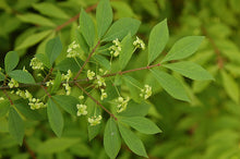 Load image into Gallery viewer, Euonymus alatus 'Compacta' #7