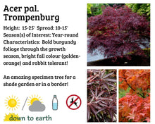Load image into Gallery viewer, Acer palm. 'Trompenburg' #20