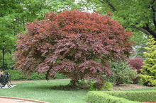 Load image into Gallery viewer, Acer palmatum 'Trompenburg' #20