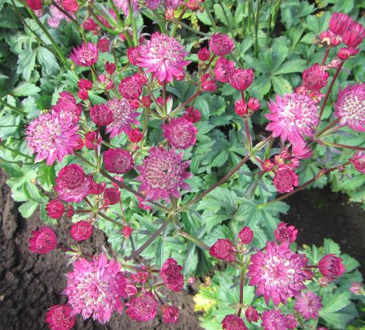 Astrantia 'Star of Fire' 2