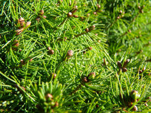 Load image into Gallery viewer, Picea glauca 'Conica' #5