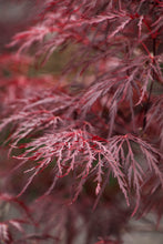 Load image into Gallery viewer, Acer palmatum 'Red Dragon' #7