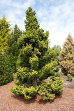 Load image into Gallery viewer, Cryptomeria j. 'Jindai Sugi'  #3