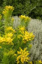 Load image into Gallery viewer, Solidago 'Little Lemon' #2