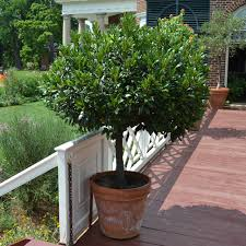 Laurus nobilis (Bay Laurel) #3