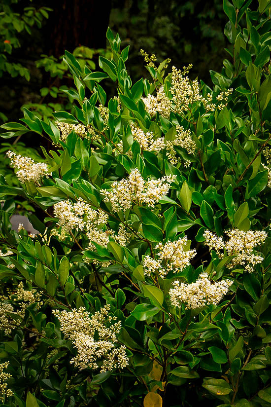 Ligustrum privet wax leaf #15
