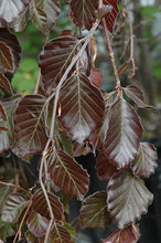Load image into Gallery viewer, Fagus 'Purple Fountain' Beech #20