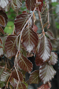 Fagus 'Purple Fountain' Beech #20