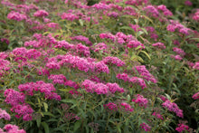 Load image into Gallery viewer, Spiraea 'Neon Flash' #3